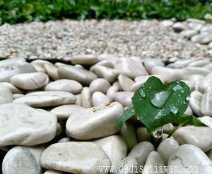 tanaman riang